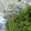 こっちは(千葉県)今桜が満開