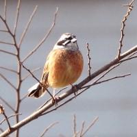 大堀川周辺の野鳥_ホオジロ(頬白)の囀り