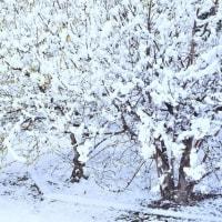 「春の雪!ロウバイ」 いわき フラワーセンターにて撮影!