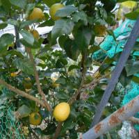 レモンの木、数個生ってますよ。