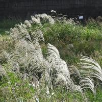 2016.10.09 風になびくススキの穂 芦屋川