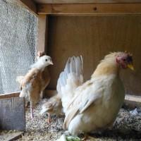 今年も銀屋の鶏は、ベビーラッシュ No.4