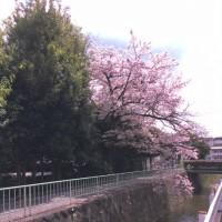 Sakura三昧。