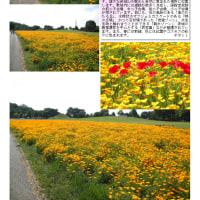 花巡り ポピー 4 大室公園③