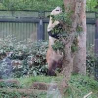 トーキョーといえば、パンダでしょう