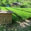 株式会社シグマクシスさまの「ノベルティ緑茶」収穫!