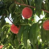 桃の初出荷
