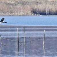 今日の野鳥   ミサゴ・チュウヒ・アオサギ・カンムリカイツブリ