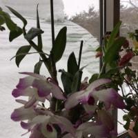窓辺のデンドロビュームと 屋根の雪
