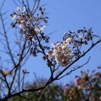 横浜イングリッシュガーデンの桜