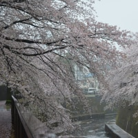 さくら雨 石神井川