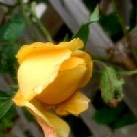 雨露とバラ