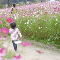 もっと迷っていたかったのに・・・  秋桜迷路