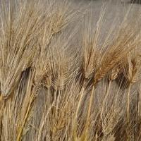 六条大麦の収穫
