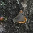 今季も来た!、樹液蝶!