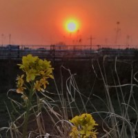 菜の花からの夕陽