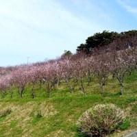 2017年「あんず」の花にかこまれて・・・福岡県福津市「あんずの里」にて