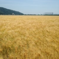 様変わり麦畑