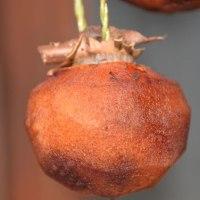「巨大輪金魚草混合」苗の移植