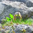 北海道探鳥2017 ナキウサギ・モモンガ