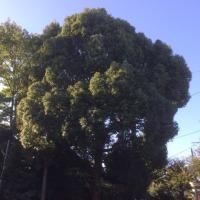 高津区神社の高木剪定枝下ろし