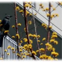 冬の渡り鳥の春は…(^^♪人間社会に慣れた「都市鳥」の代表「ヒヨドリ(鵯)」