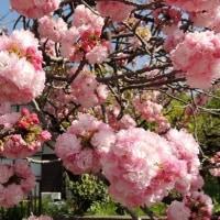 #5145 八重桜