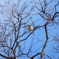 小幡緑地の探鳥会(2)