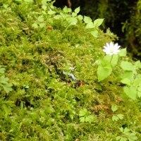 コケの上に咲くミヤマハコベ