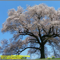 image2357 孤高の一本桜
