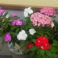 真夏の(もう秋か?)紫陽花