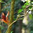 森林の赤い宝石 1