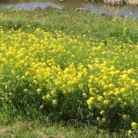 いちご狩り&菜の花