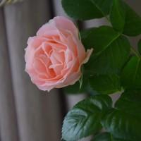 今日のお弁当5/23&薔薇の花