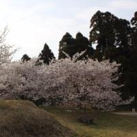 島の桜は次々と…