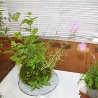 「おはようの花」 カワラナデシコ(河原撫子)