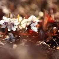 節分草が今年も雲門寺に咲きました