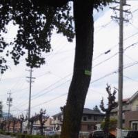 坊主になった街路樹のナンキンハゼ