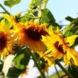 ブッドレアの花とツマグロヒョウモン♪