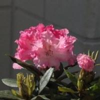ヒマラヤ原産の花、キソケイです
