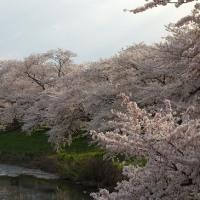 春1 角館の桜