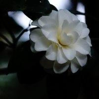 椿 (花 4311)