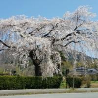 今年は遅め('~`;) 桜の季節