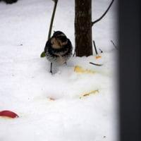 お鳥作戦!!