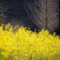 なごみ公園の菜の花