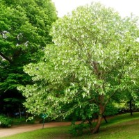 樹木ウォッチング冬から夏へ176ハンカチノキ3