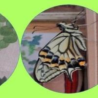 アゲハチョウ2匹前後して羽化