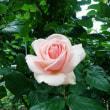 Mon Roman de la Rose