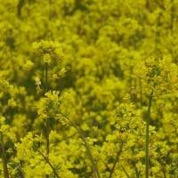 大洲の菜の花畑