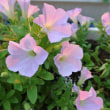 サフィニアさくらさくらの花弁が夕日を受けピンクに染まる